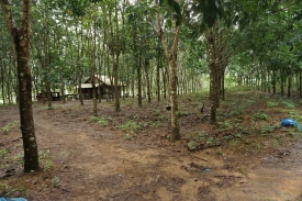 Rubber tree farm