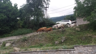 Cows wander freely around Mestia city center!